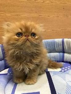 vendo gatti persiani beverino per gatti persiani e cani piccola posot class