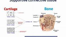 supportive connective tissue cartilage and bone