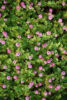 plante couvre sol persistant 5 vivaces couvre sols 224 longue floraison qu il faut avoir