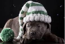 hund mit mütze fotos welpe corso italiano hunde m 252 tze tiere