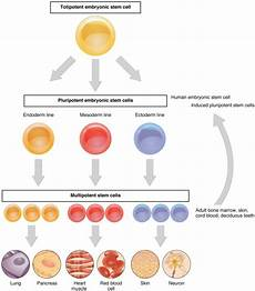 during embryonic development cells specialize to form how do cytoplasmic determinants affect cell differentiation pediaa com