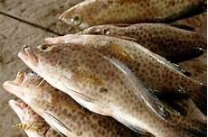 Ikan Kerapu Merah E Comting Acmt