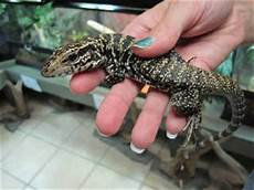 colombian tegu caresheet reptile rapture