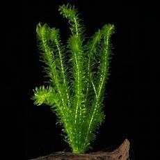 welche pflanzen klären den teich schnellwachsende aquariumpflanzen welche arten eignen sich