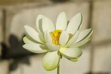 cycle of the lotus flower trivia koloa jodo cycle of the lotus flower trivia koloa jodo