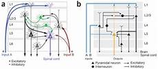 how to create neural circuit diagrams updated neuroecology
