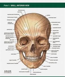 Physiomore Anatomi Cranium