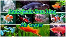 Gambar Jenis Ikan Hias Air Tawar
