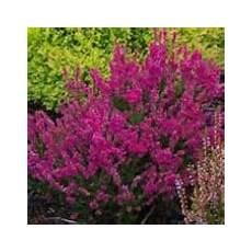 calluna vulgaris sorten calluna vulgaris pimpernel care plant