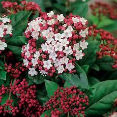 kübelpflanzen winterhart blühend buy laurustinus viburnum tinus lisarose pbr 163 14 99