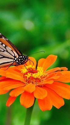 Orange Flowers Iphone Wallpaper by Butterfly Wallpaper For Android Pixelstalk Net