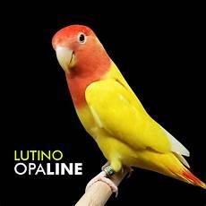 Gambar Dp Bbm Burung Lovebird Bergerak