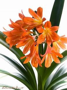 Zimmerpflanze Orange Blüte - wie clivia jedes jahr zum bl 252 hen kommt test