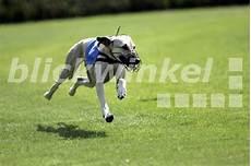 Blickwinkel Greyhound Canis Lupus F Familiaris