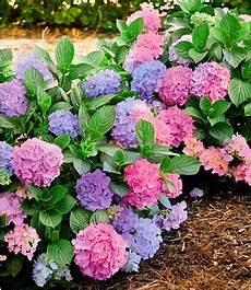 sommer flieder quot papillion tricolor quot 1 pflanze freiland