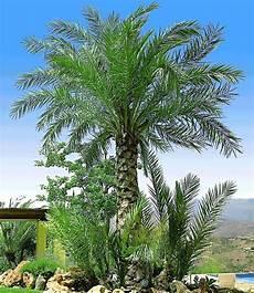 Palmen Für Den Garten - chilenische honig palme winterharte palmen palmen und