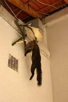 comment attraper une fouine attraper une fouine ziloo fr