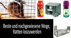 Rattenbekämpfung Ohne Gift - wie ratten in haus und hof loswerden kann t 246 ten gegen