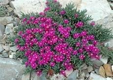 Ruschia Pulvinaris American Rock Garden Society