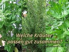 Welche Kräuter Vertragen Sich - kr 228 uter pflanzen welche kr 228 uter passen gut zusammen