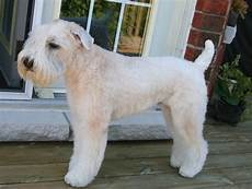 soft coated wheaten terrier haircut wheaten terrier the 18 breeds least likely to make you sneeze barkpost