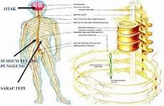 Sistem Saraf Manusia Pengertian Bagian Dan Fungsinya