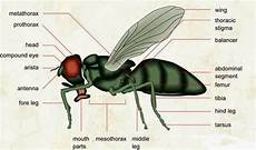 Struktur Anatomi Pada Lalat Jdsk