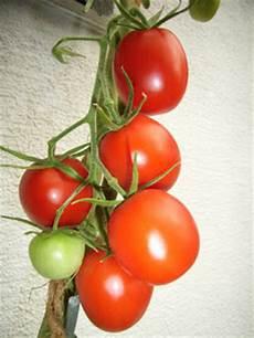 vom wachsen und werden tomaten terrassendschungel
