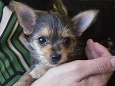chihuahua mix welpen chorkie chihuahua yorkie mix breed review and 13