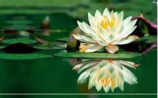 fiore loto appassionarsi il canto fiore di loto