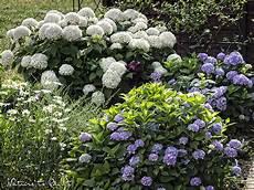 was passt zu hortensien hortensie annabell freude und leid pflege und alternativen