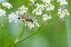 Schlupfwespen Kleine Wespe Gegen Motten Und Blattl 228 Use