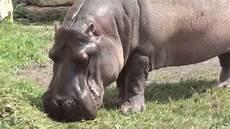 am zoo hipopotamy zoo warszawa 29 07 2013