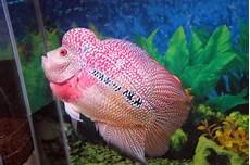 Budidaya Gambar Dan Cara Merawat Ikan Louhan Yang Benar