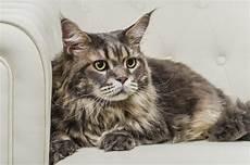 peli sedere disposizione dei posti a sedere gatto di maine coon