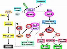 ribosomal protein s27 like is a physiological regulator of p53 that suppresses genomic