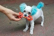 chiot a donner montpellier pomsky prix moyen chien bonheur