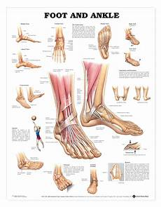 Anatomical Foot Diagram foot and ankle anatomical chart anatomy models and