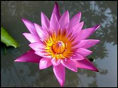 cycle of the lotus flower trivia koloa jodo 25 best a history of hinduism images on hindu