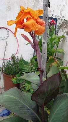 planta canna indica canna indica prof lorenz spicegarden