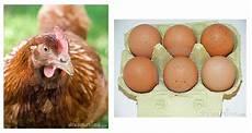 Bagai Ayam Mengeram Telur Laman Peribahasa