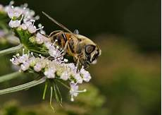 insekt an fauligem obst kostenlose bild biene pollen obst natur blatt insekt