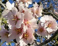 fiori mandorlo fiori mandorlo fiori delle piante