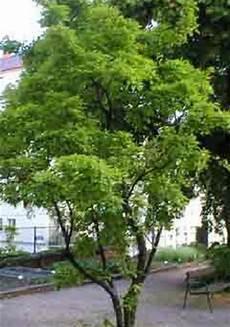 Tataren Ahorn Baumart Baum