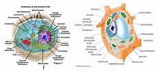 Struktur Sel Hewan Dan Sel Tumbuhan