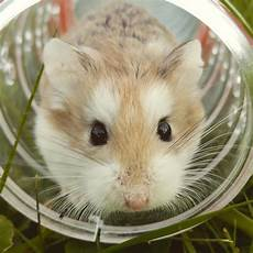 Hamster Coming Out Of Tunnel Image Free Stock Photo