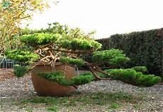 Niwaki Taille En Nuage De Genevrier Jardins Topiaire Et