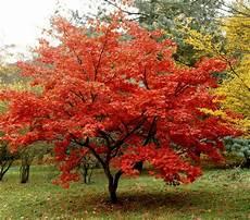 Erable Rouge Du Japon Fiche Plante 201 Rable Du Japon Garden Garden Trees