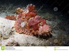 Skorpion Fische Auf Dem Riff Stockbilder Bild 27031494