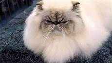 himalayan cats is a himalayan the right cat breed for you